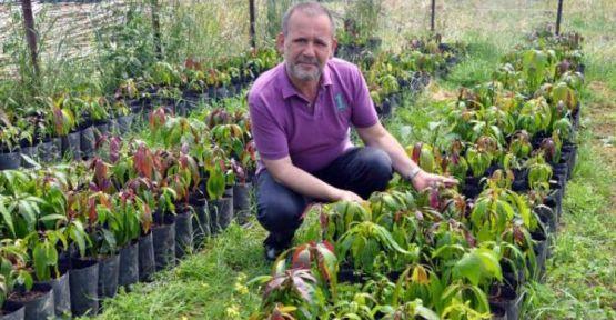 Gazipaşa'da Mango Ağacı 5 Bini Buldu.