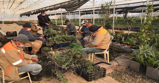 Büyükşehir Belediyesi çiftçi için adaçayı fidesi üretiyor