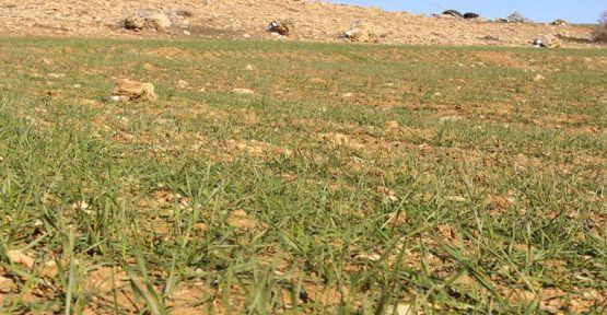 Elmalı ve Korkuteli'de ata tohumları çimlendi