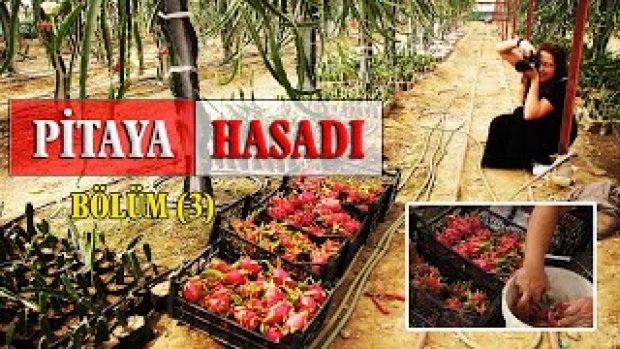 EJDER MEYVESİ YETİŞTİRİCİLİĞİ-PİTAYA ÜRÜN HASADI-Pitaya crop harvest 2020